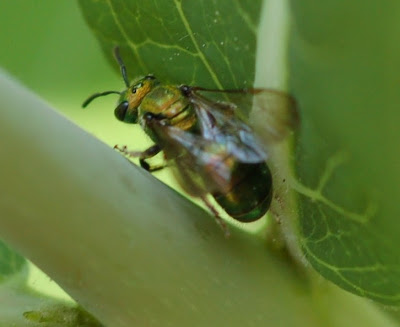 Halictid bee