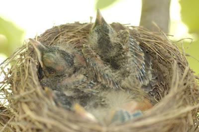 four robin nestlings