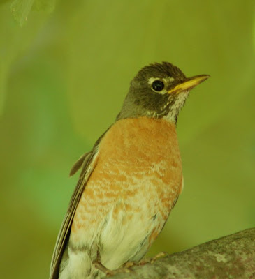 Mother robin, watching photographer in alarm