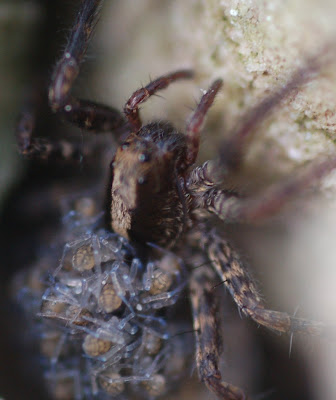 Wolf spider, babies on back