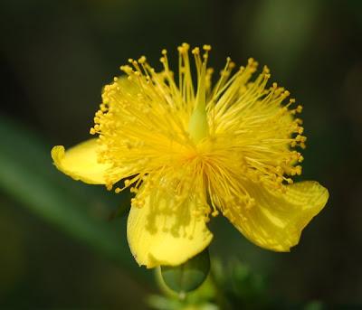 Shrubby St. John's Wort blossom