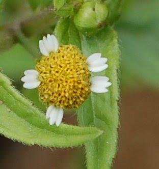 Galinsoga inflorescence
