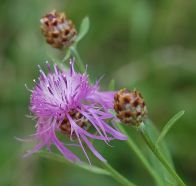 Knapweed flower and buds