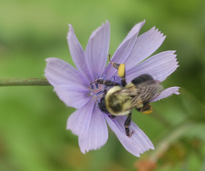 Bumblebee on chicory blossom