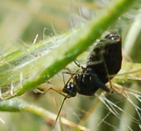 Little Black Mirid on Field Thistle