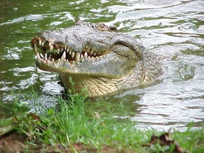 حديقة حيوانات المركز الدولى  - صفحة 5 Croc04ga2