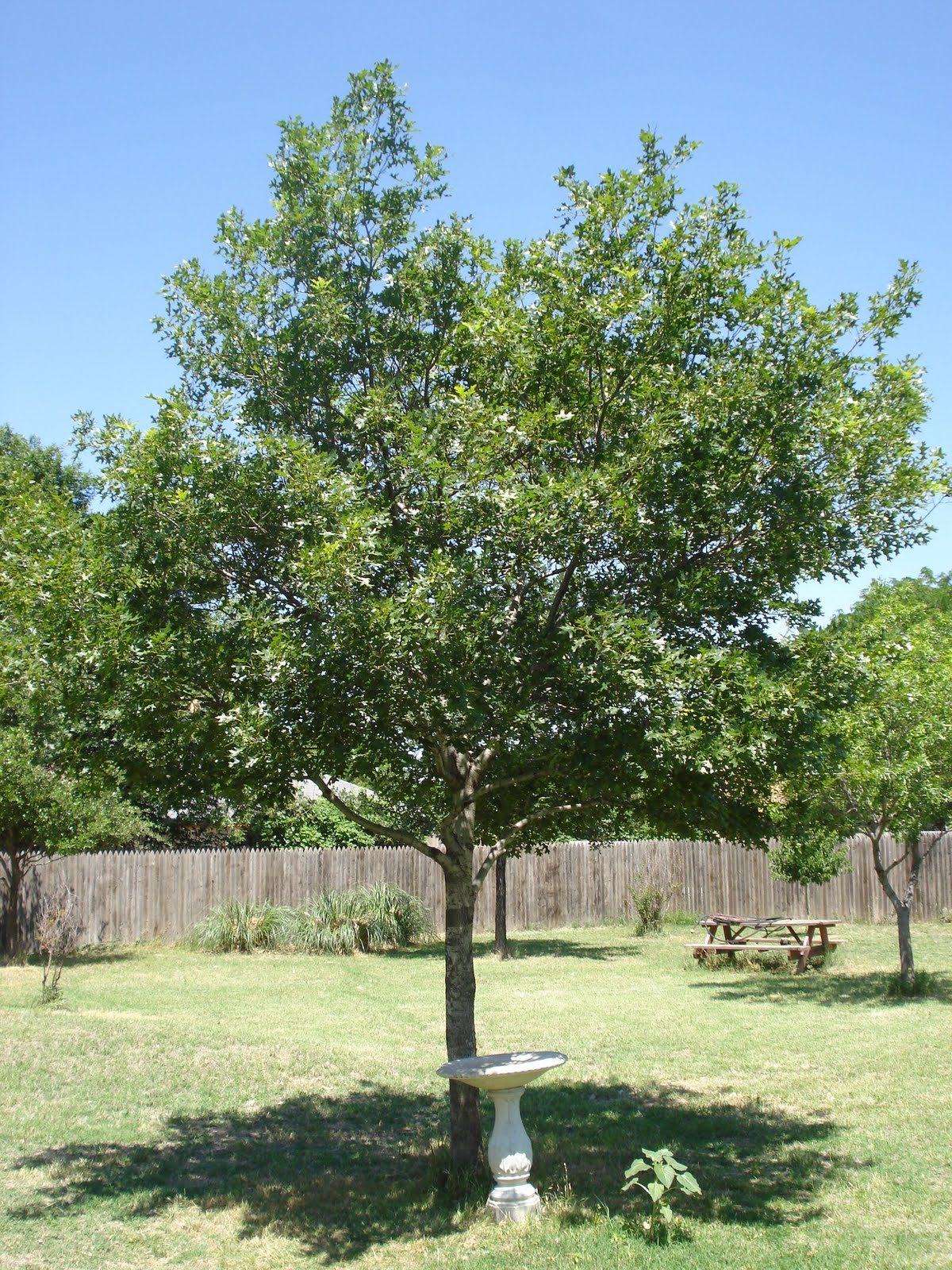 Red Oak Tree ~ My lubbock garden shade trees shumard red oak