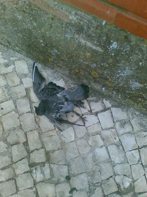 Pombo morto na calçada
