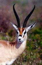 Shegazelle