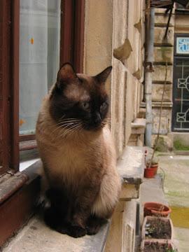 pisica la fereastra