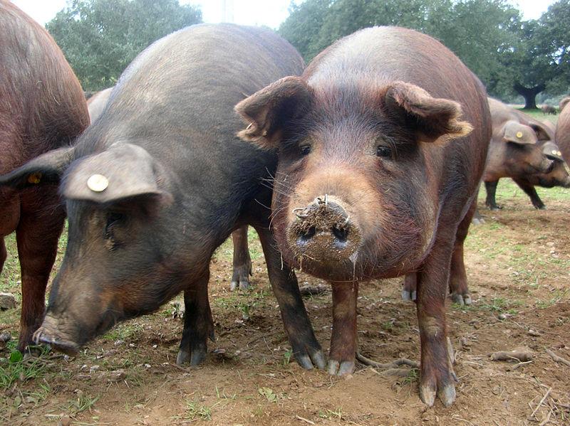putoare de la porci