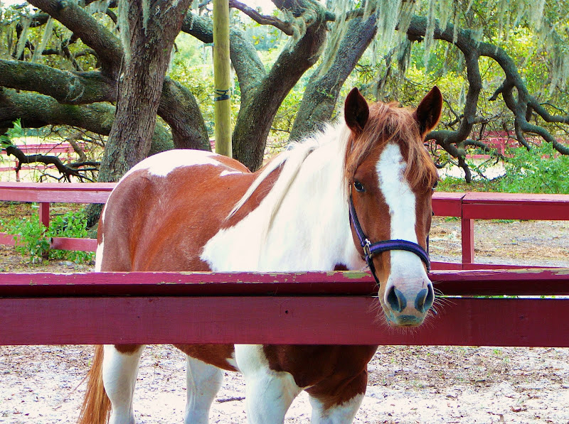 American+Paint+Horse Most expensive luxury breed   American Paint horse