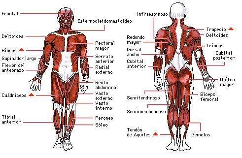 1°Objetivo:Sistema muscular. (Generalidades) - comisión 12
