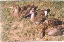 साइबेरियन पक्षी