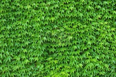 Enredaderas o trepadoras para cubrir pared en jardin for Plantas trepadoras para muros