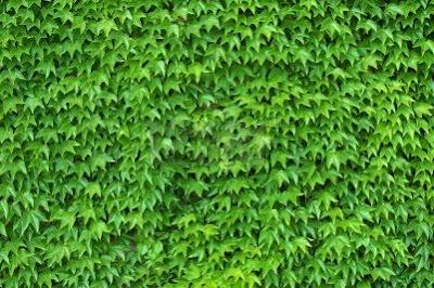 Enredaderas o trepadoras para cubrir pared en jardin - Plantas trepadoras para muros ...
