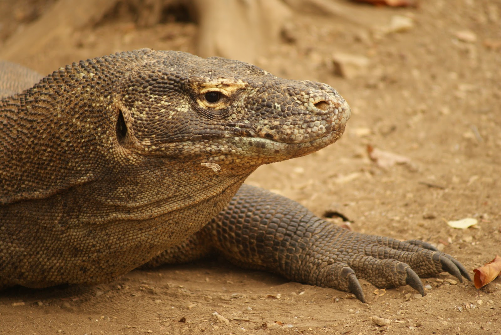 the komodo dragon essay The effectiveness of the komodo dragon bite is a combination of highly specialized serrated teeth and venom, a new study shows the authors also dismiss the widely accepted theory that prey die from septicemia caused by toxic bacteria living in the dragon's mouth.
