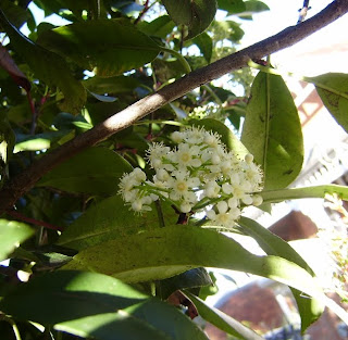 a cluster of small white flowers just beginning to bloom. Its an Australian native of some sort, I think.