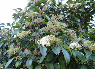 another native shrubby-tree with small flowers just starting to apear.