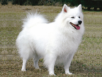 Dog Disease, Dog Diseases and Dog Breeds: Dog Breeds - American Eskimo ...