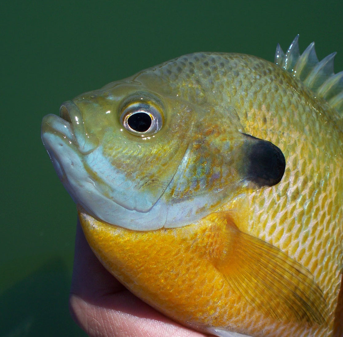 catching large bluegill on flies for their size the large bluegill ...