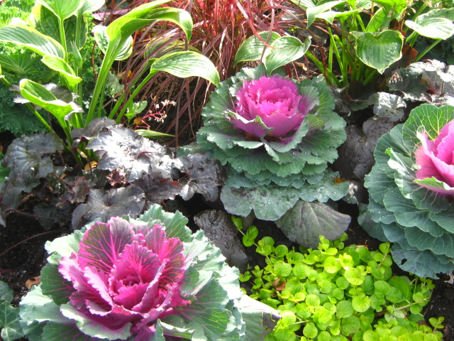 close up photo cabbages and plants by Susan Wellington