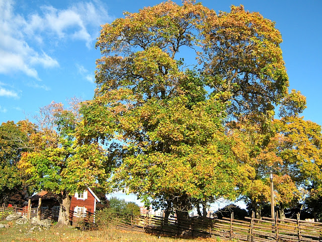 photo of large autumn tree towering over a red cottage by Susan Wellington