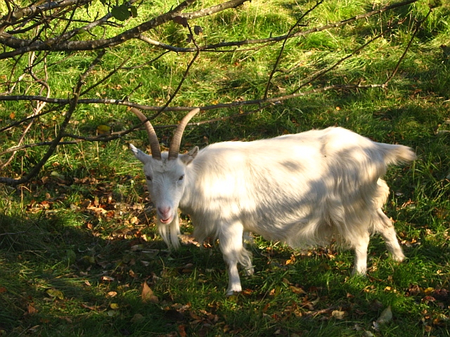 white long haired goat next to a tree