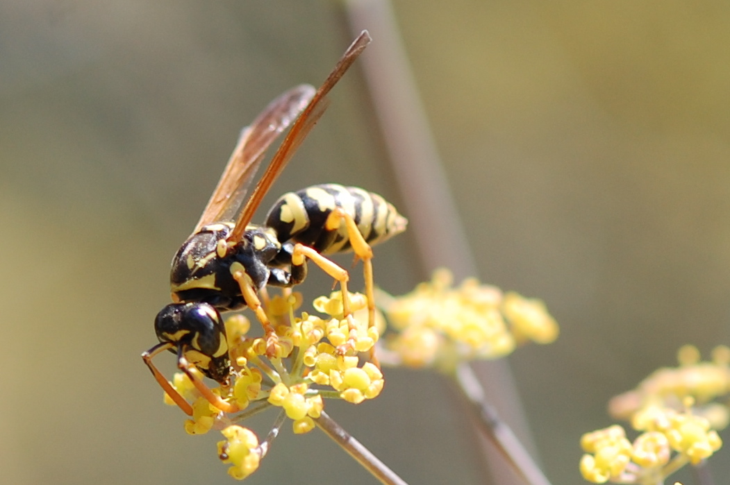european paper wasp European paper wasp are designated as category 1b invasive alien species this legislation states that: • these wasps need to be managed as part.