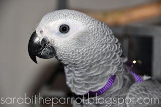 African Grey Parrot Harness