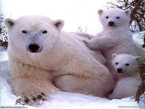 Polar Animals | nature desktop wallpapers Images Photos
