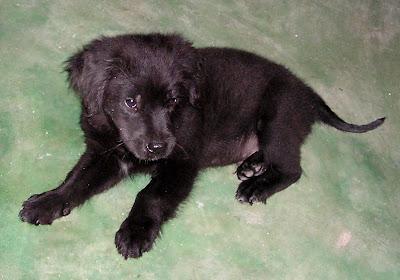 Shiloh puppy Siargao Island Philippines