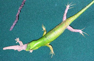 Emerald Green Skink - Lamproletis smaragdinus eating gecko