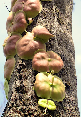 one of the weirdest plants I've ever come across. It grows on tree-trunks here in the Philippines, as a creeping vine