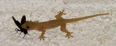 Gecko eating moth
