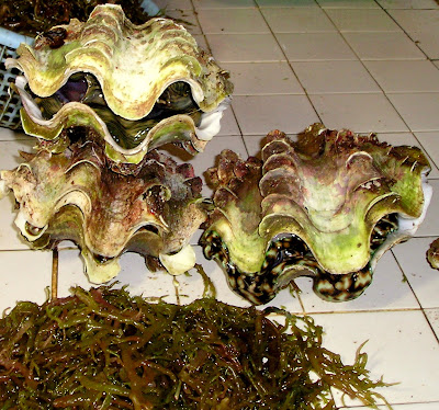 Tridacna - Giant Clams- Surigao Market Philippines