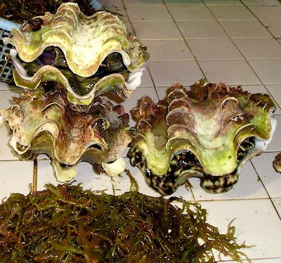 Tridacna - Giant Clams- Surigao Market Philippines