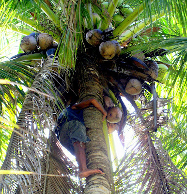 climbing coconut tree in Siargao Island, NE Mindanao, Philippines, home of Cloud 9 surfing spot