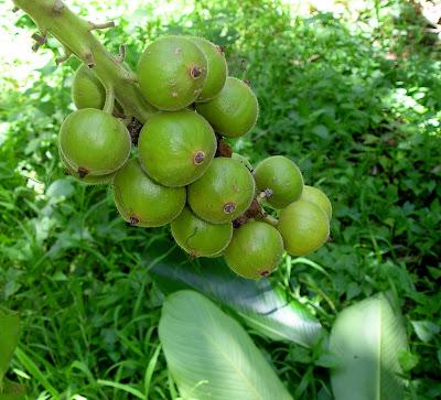 etlingera ginger fruit from Siargao Island, NE Mindanao, Philippines, home of Cloud 9 surfing spot