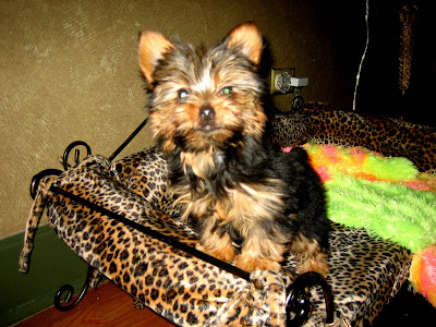Miniature Yorkshire Terrier Any Potty Training Ideas For Yorkies