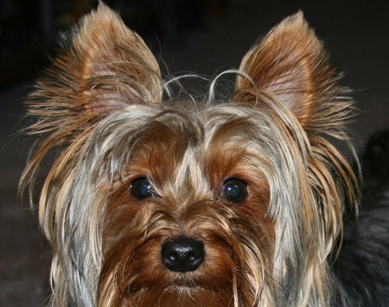 Miniature Yorkshire Terrier Readers Yorkie Photos