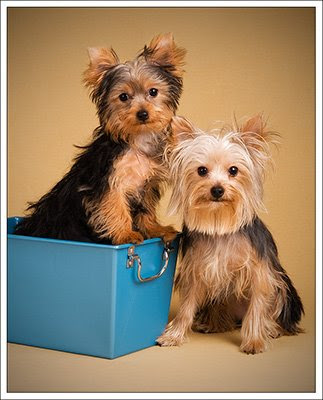 Miniature Yorkshire Terrier Another Petsmart Horror Story
