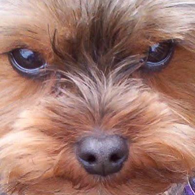 http://1.bp.blogspot.com/_KlE4PNnEzUk/SYCG8-M7fiI/AAAAAAAABSM/EyiMn4EB4Bg/s400/yorkie+yorkshire+terrier+rescue+4.jpg