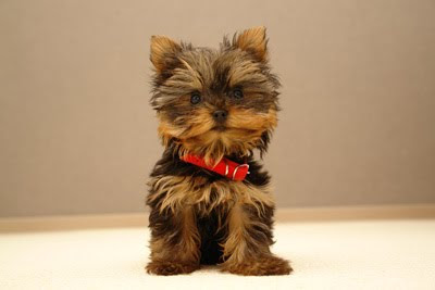 What Can Yorkies Eat Besides Dog Food