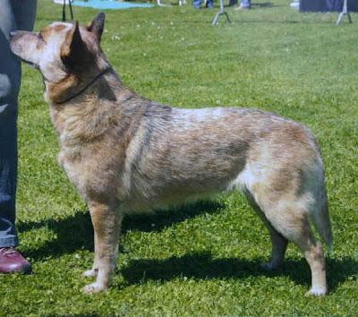 Inter point razze di cani 1 cani da pastore e bovari for Cane da pastore della russia meridionale