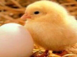 Foto Ayam Kampung dan Anak Ayam Kampung