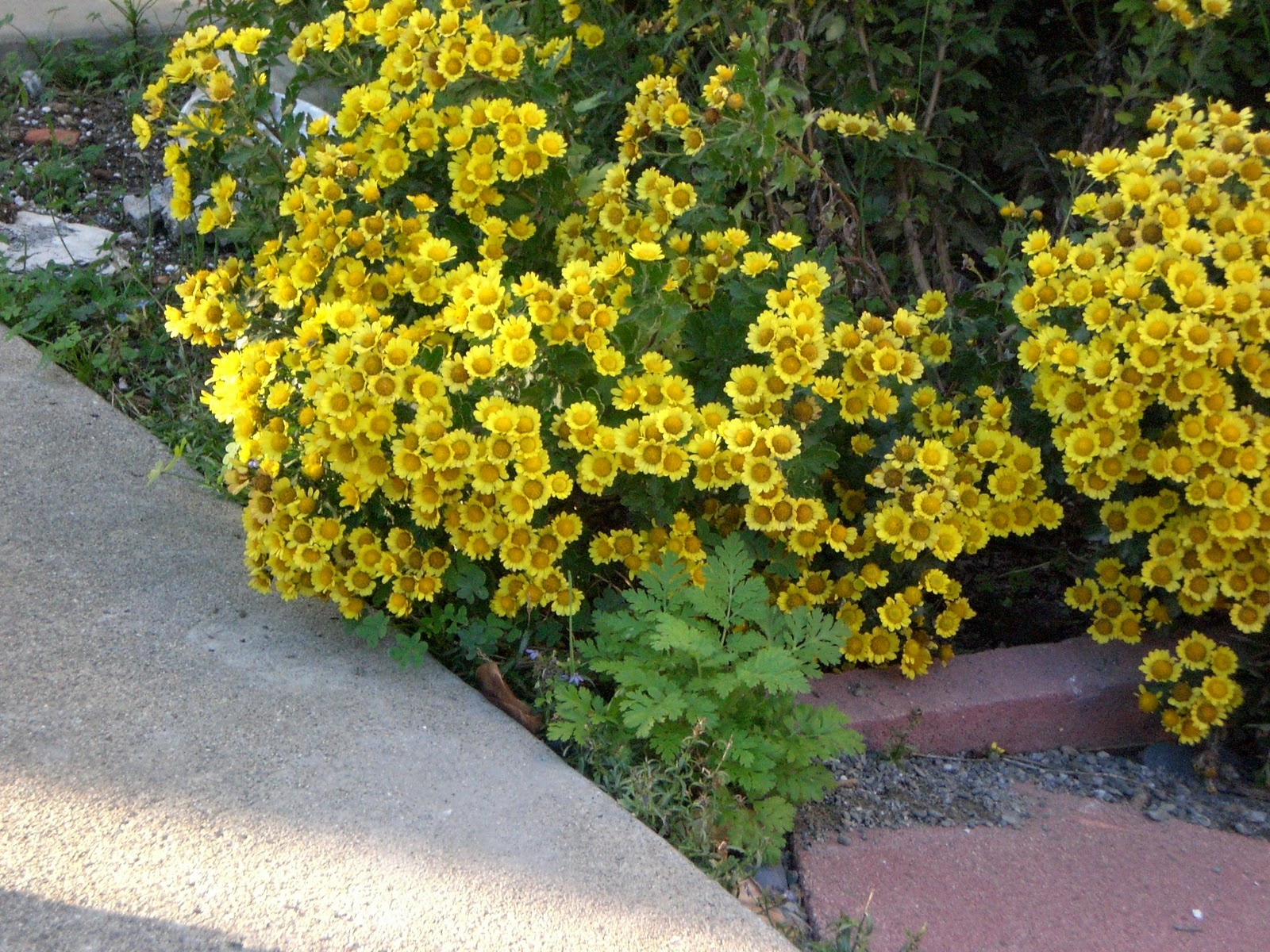 Eye Candy for the Famished Fall Flowers Yellow Mums