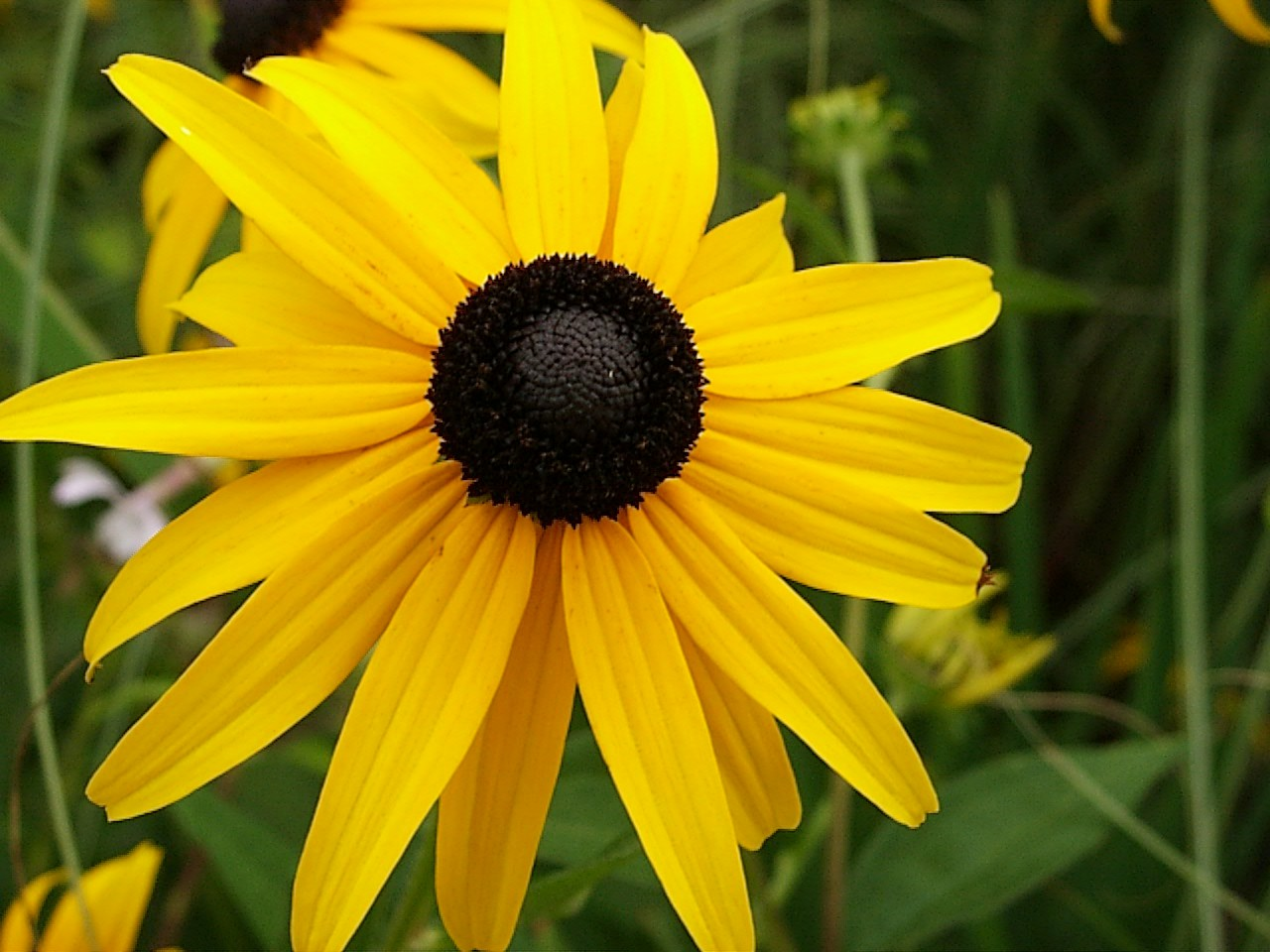 Eye Candy For The Famished Black Eyed Susan