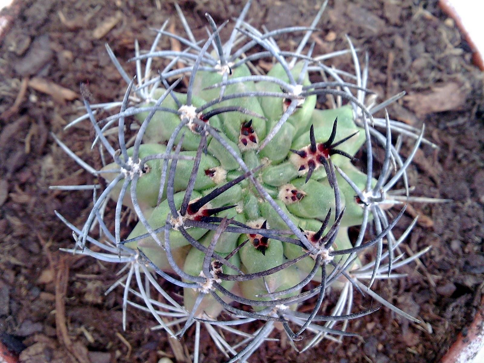 Captus mania mi cactus for Cactus variedades