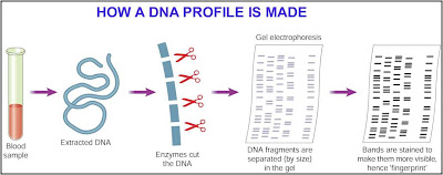 dna and dna profiling made simple essay Dna essay - free download as pdf file (pdf), text file (txt) or read online for free  dyes are attached to all the str copies that get made, one type of dye for.